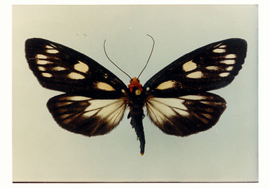 The Grand Spotted Moth